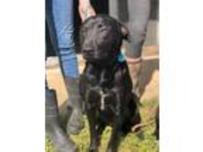Adopt Samantha (Cocoa Center) a Black Labrador Retriever / Mixed dog in Cocoa