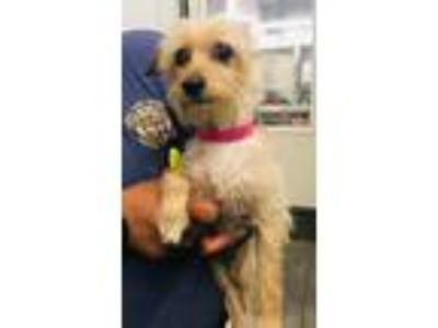Adopt Trixie a Tan/Yellow/Fawn Terrier (Unknown Type, Small) / Mixed dog in