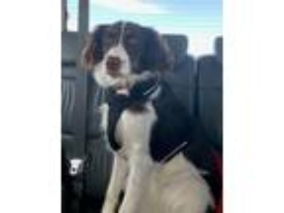 Adopt KS/Roxy a Brown/Chocolate - with White Brittany / Border Collie / Mixed