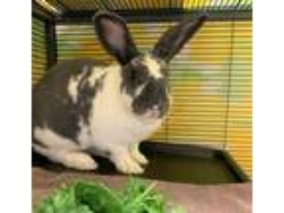 Adopt Jessica Albun (mcas) a Other/Unknown / Mixed (short coat) rabbit in
