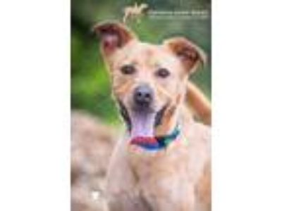 Adopt 29446A Scout a Tan/Yellow/Fawn Labrador Retriever / Mixed dog in North