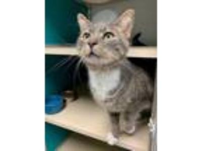 Adopt Pancake a Gray or Blue Domestic Shorthair / Domestic Shorthair / Mixed cat