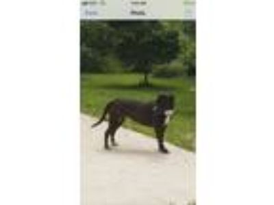 Adopt Ebony a Labrador Retriever, Terrier