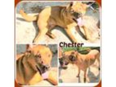 Adopt CHESTER a Tan/Yellow/Fawn - with White Labrador Retriever / Mixed dog in