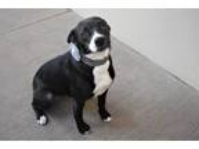 Adopt Karen a Border Collie, Terrier