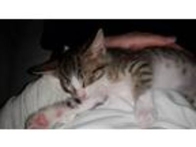 Adopt Keks Woods a Domestic Shorthair / Mixed cat in Allen, TX (25427975)