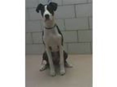 Adopt MARCUS a Great Dane