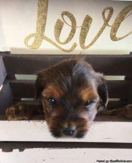 Bichon Shih tzu x yorkie puppies for sale