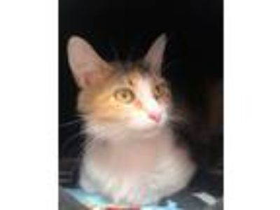 Adopt Wanda a Calico or Dilute Calico Domestic Shorthair (short coat) cat in