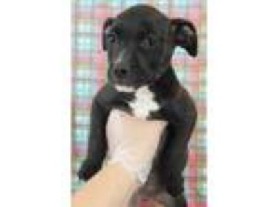 Adopt Hera a Black American Pit Bull Terrier / Mixed dog in Morton Grove