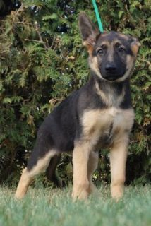 German Shepherd Dog PUPPY FOR SALE ADN-99085 - Amazing AKC German  Shepherd Puppies