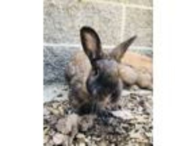 Adopt Betty a Tan Mini Rex / Other/Unknown / Mixed rabbit in Sacramento