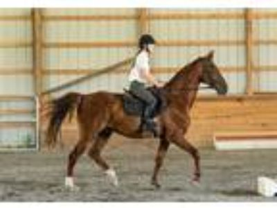 Adopt Rory a Saddlebred / Mixed horse in Quakertown, PA (24198536)