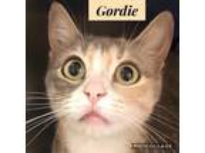 Adopt Gordie a Gray or Blue Domestic Shorthair / Domestic Shorthair / Mixed cat