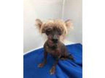 Adopt Chewy a Chinese Crested Dog