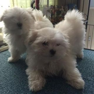 Maltese PUPPY FOR SALE ADN-72946 - Pure Breed Maltese with AKC Papaers