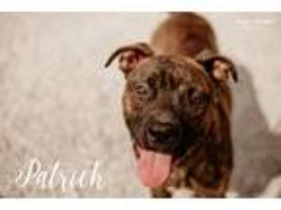 Adopt Patrick a Brindle Pit Bull Terrier / Mixed dog in Evansville