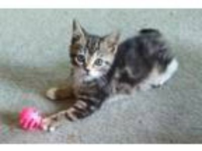 Adopt Juniper a Brown Tabby Domestic Shorthair (short coat) cat in Kirkwood