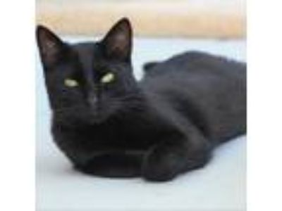 Adopt Solar a Domestic Shorthair cat in Lake Panasoffkee, FL (23970489)