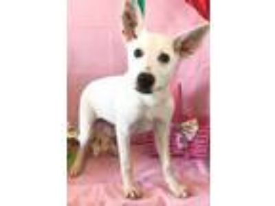 Adopt Peep a White Terrier (Unknown Type, Small) / Mixed dog in Wichita Falls