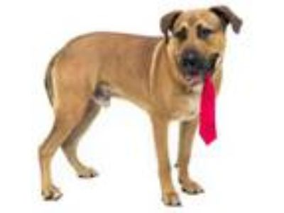 Adopt SKULLY a German Shepherd Dog, Mixed Breed