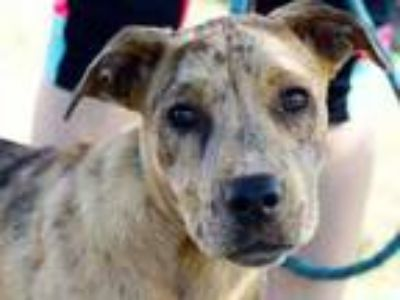 Adopt Amber a Brindle Mixed Breed (Large) / Mixed dog in Georgetown