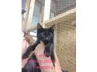 Adopt 19-164 a Domestic Medium Hair