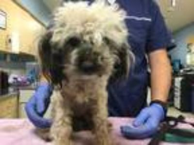 Adopt Dog a White - with Black Poodle (Miniature) / Mixed dog in Jurupa Valley