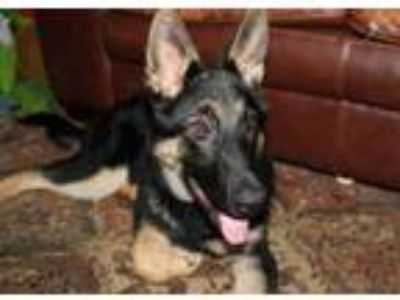Adopt Pup Jupiter a German Shepherd Dog