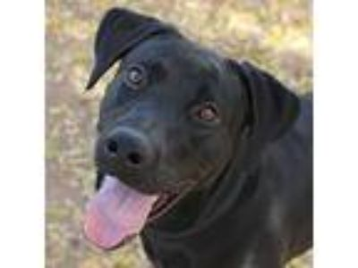 Adopt Brinkley a Black Labrador Retriever / Mixed dog in Phoenix, AZ (17626783)