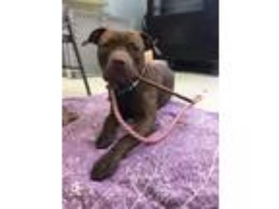 Adopt PEBBLE a Pit Bull Terrier