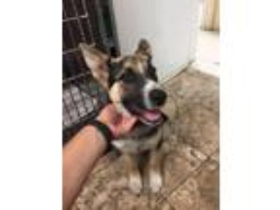 Adopt HoneyGirl (courtesy listing) a Black - with Tan, Yellow or Fawn Shepherd