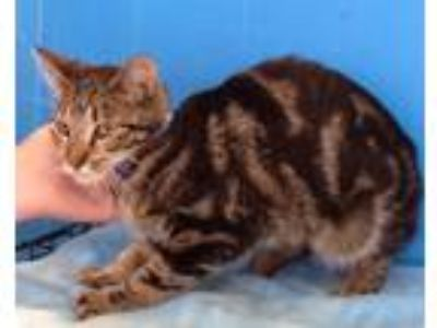 Adopt Allison a Orange or Red Tabby Domestic Shorthair (short coat) cat in