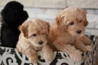 Accommodating Goldendoodle puppies ready