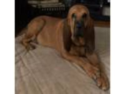 Adopt Bella a Brown/Chocolate Bloodhound dog in Red Creek, NY (25216482)