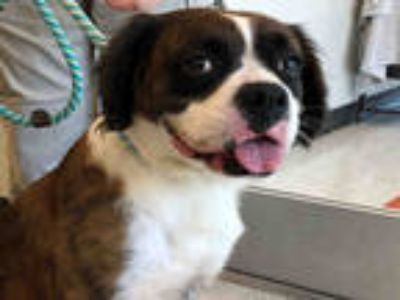 Adopt CINNAMON a Brown/Chocolate - with White Boxer / Cocker Spaniel / Mixed dog