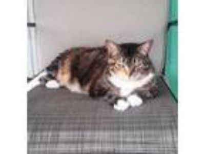 Adopt Princess a Calico or Dilute Calico Calico (short coat) cat in New Port