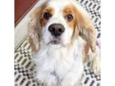 Adopt Waffle a White - with Tan, Yellow or Fawn Cocker Spaniel / Mixed dog in
