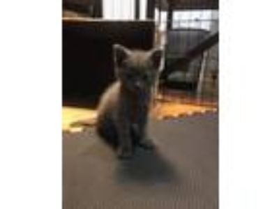 Adopt Lady a Gray or Blue American Shorthair (short coat) cat in Staten Island