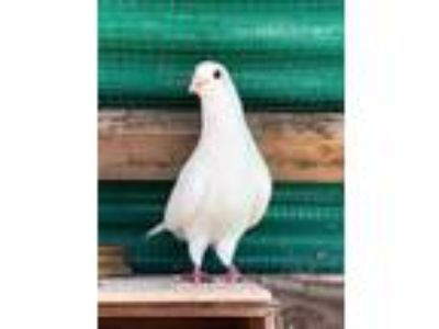 Adopt Archimedes a Pigeon