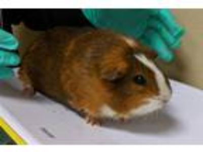 Adopt Florence a Guinea Pig small animal in Oceanside, CA (25505104)