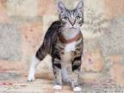 Adopt ALI CAT a Domestic Short Hair