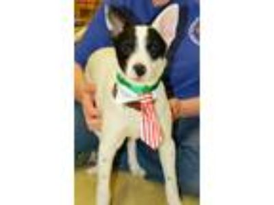 Adopt Jeri a White - with Black Rat Terrier / Mixed dog in Horn Lake