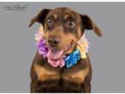 Adopt Sadie a Doberman Pinscher, Rottweiler