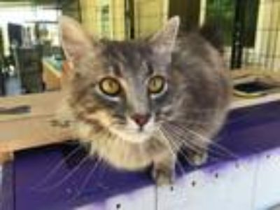 Adopt Foxglove a Gray, Blue or Silver Tabby Domestic Longhair (long coat) cat in