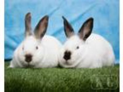Adopt Donut, Macaroon a Californian / Mixed (short coat) rabbit in Pflugerville
