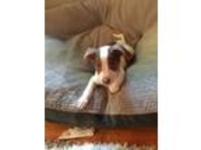 Adopt Charlie a Hound, Jack Russell Terrier