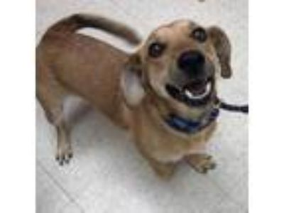 Adopt Benny a Tan/Yellow/Fawn Dachshund / Mixed dog in Noblesville