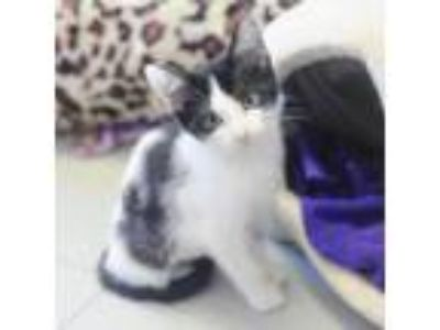Adopt Leche a White Domestic Shorthair / Domestic Shorthair / Mixed cat in New