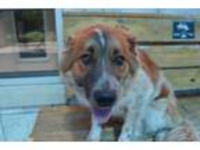 Adopt 41675550 a Collie, Mixed Breed